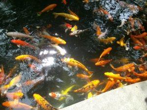 El mindo de los peces en la China milenaria que es nuestro objetivo en Ocean American Food OCEAMERSA